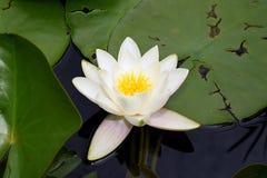 Schönes Wasser verlässt lilly in meinem Gartenteich Lizenzfreies Stockbild