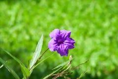 Schönes Waterkanon, Watrakanu, Minnie-Wurzel, Crackeranlage, Ruellia-tuberosa mit Sonnenlicht im Garten, violette Blumen lizenzfreies stockfoto
