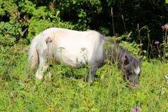 Schönes weiß-graues Pony, das Gras auf dem Rasen mit Blumen an einem sonnigen Sommertag isst Stockbild