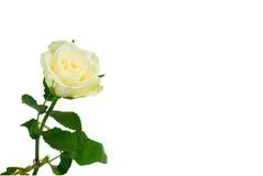 Schönes Weiß stieg Stockbilder