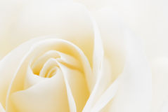 Schönes Weiß stieg Stockfoto