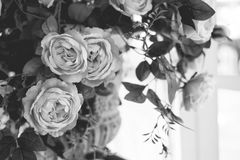 Schönes Weiß stieg Stockfotos