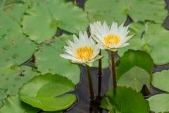 Schönes Weiß waterlily Lizenzfreie Stockfotografie