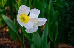 Schönes weiße Mohnblume ` s hervorgehoben, durch üppiges grünes Laub stockfotografie