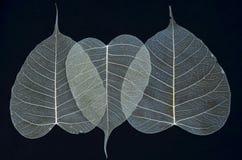 Schönes weißes Adermuster von bodhi Blättern Lizenzfreie Stockfotografie