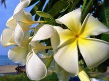 Schönes weißes Champaka-Blumenmakro Stockfotos