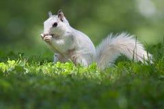 Schönes weißes Eichhörnchen mit buschigem Heck Lizenzfreie Stockfotos