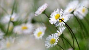 Schönes weißes Gänseblümchen, das in einer Sommerzeit wächst