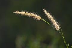 Schönes weißes Gras blüht auf dunkelgrünem Hintergrund der Unschärfe Stockfotografie