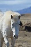 Schönes weißes isländisches Pferd in Island lizenzfreies stockfoto