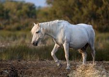 Schönes weißes Pferd stockfoto