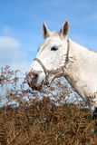 Schönes weißes Pferd Stockbild