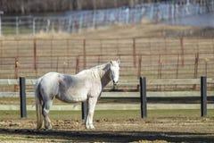 Schönes weißes Pferd Lizenzfreie Stockfotografie