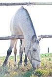 Schönes weißes Pferd, das auf Gras weiden lässt Stockfotos