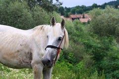 Schönes weißes Pferd und Dorf Stockfotos
