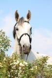 Schönes weißes Pferdeporträt in den Blumen Stockfoto