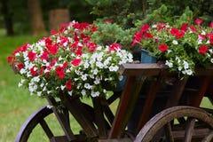 Schönes weißes und rotes Petunienblumen Petunie hybrida in den Töpfen lizenzfreies stockfoto