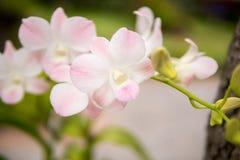 Schönes weißes und weich Rosa oder Phalaenopsis oder Motte Dendrobiumorchidee, Lizenzfreie Stockbilder