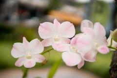 Schönes weißes und weich Rosa oder Phalaenopsis oder Motte Dendrobiumorchidee, Lizenzfreie Stockfotografie