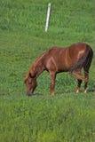 Schönes weiden lassendes Pferd Lizenzfreies Stockfoto