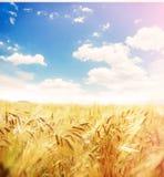 Schönes Weizenfeld Stockbilder