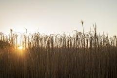 Schönes Weizengras bei Sonnenaufgang Stockfotografie