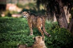 Schönes wildes Gepardgehen vorsichtig auf Grünfeldern, Abschluss oben stockbild