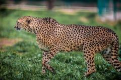 Schönes wildes Gepardgehen vorsichtig auf Grünfeldern, Abschluss oben stockfoto