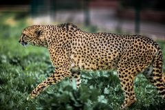Schönes wildes Gepardgehen vorsichtig auf Grünfeldern, Abschluss oben stockfotos