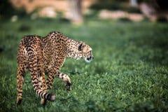 Schönes wildes Gepardgehen vorsichtig auf Grünfeldern, Abschluss oben stockbilder