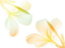 Schönheit bunt von den Frangipani- oder Plumeriablumen Lizenzfreie Stockfotos