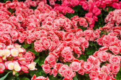 Schönheit in der Beschaffenheit der Begonienblume im Garten Stockfotos
