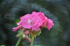 Schönheit der frischen Blumen des Naturgrünblatt-Extremabschlusses oben Stockfoto