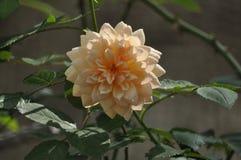 Schönheit der frischen Blumen des Naturgrünblatt-Extremabschlusses oben Lizenzfreie Stockfotos