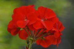 Schönheit der frischen Blumen des Naturgrünblatt-Extremabschlusses oben Stockfotografie