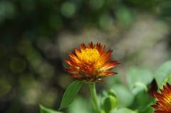 Schönheit der frischen Blumen des Naturgrünblattes Lizenzfreies Stockbild