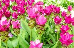Schönheit der Siam Tulip-Blumen von Thailand Lizenzfreie Stockfotografie