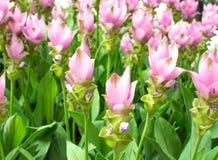 Schönheit der Siam Tulip-Blumen von Thailand Lizenzfreie Stockbilder