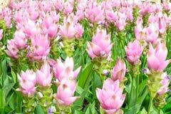 Schönheit der Siam Tulip-Blumen von Thailand Lizenzfreies Stockfoto
