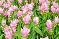 Schönheit der Siam Tulip-Blumen von Thailand Lizenzfreies Stockbild