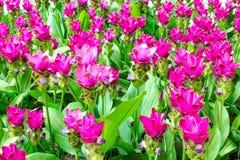 Schönheit der Siam Tulip-Blumen von Thailand Stockfoto
