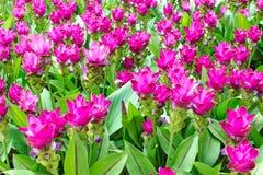 Schönheit der Siam Tulip-Blumen von Thailand Stockfotografie