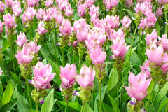 Schönheit der Siam Tulip-Blumen von Thailand Stockfotos