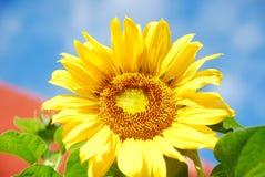 Schönheit der Sonnenblume lizenzfreie stockfotografie