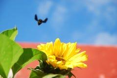 Schönheit der Sonnenblume stockfotografie