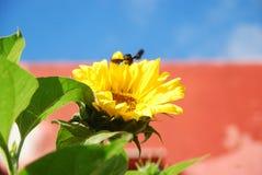 Schönheit der Sonnenblume stockbilder