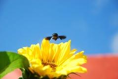 Schönheit der Sonnenblume lizenzfreies stockbild