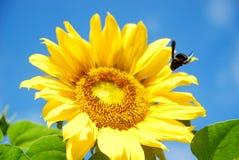 Schönheit der Sonnenblume lizenzfreies stockfoto