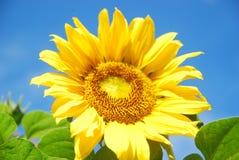 Schönheit der Sonnenblume lizenzfreie stockbilder