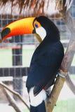Schönheit des brasilianischen Tukans stockbilder